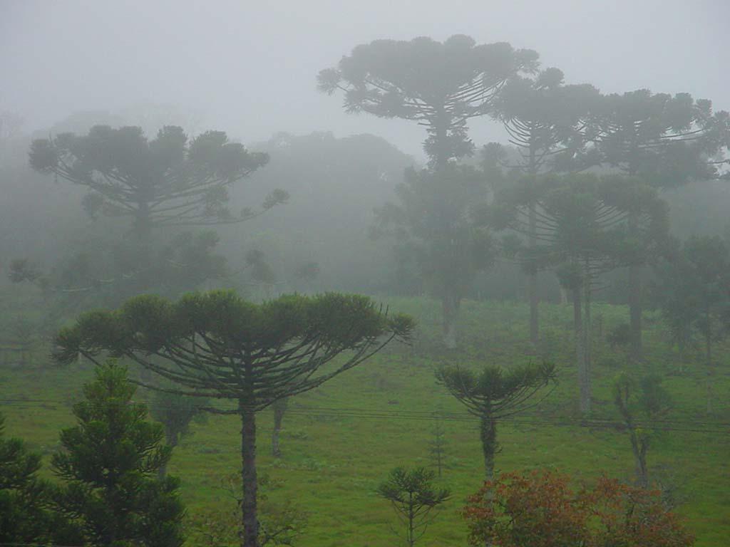 As araucárias, árvore de onde vêm as pinhas, de onde vêm os pinhões...